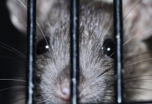 rat montreal
